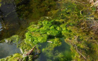 Phospaht im Teich, ein Grund für Algen