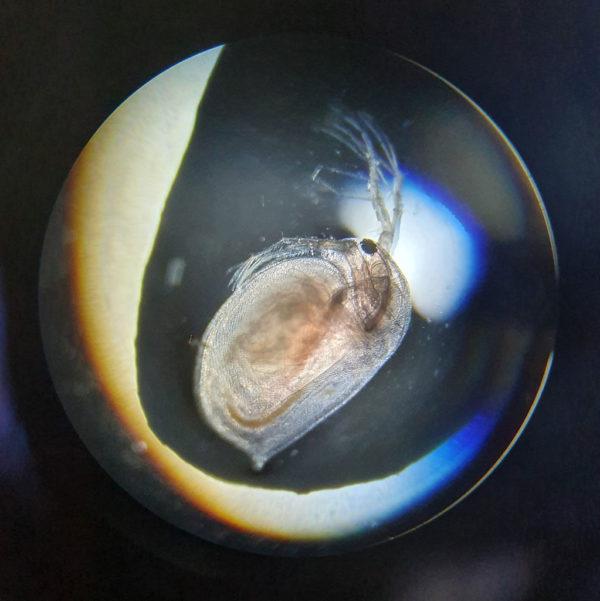 Zooplankton Teichklar